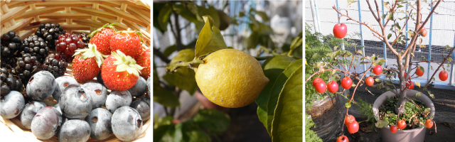 ブラックベリ、いちご、ブルーベリー レモン 姫リンゴ